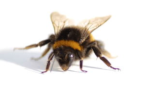 Bumblebees vs honey bees