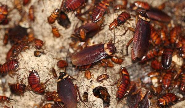 What Does a Roach Look Like? All You Need To Know