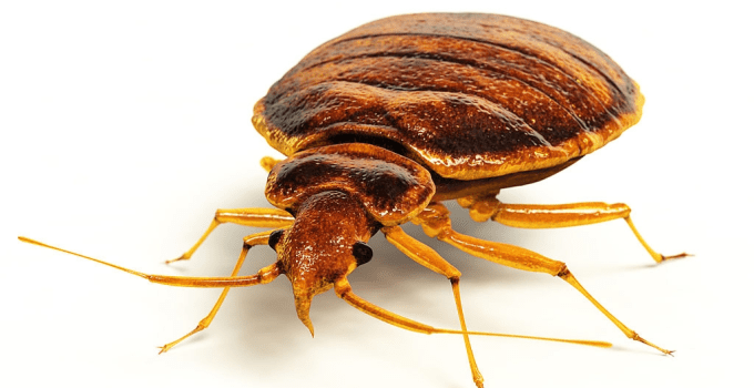 How Often Do Bed Bugs Feed? Feed Habit of Bed Bugs
