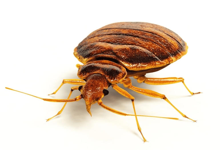 How Do You Get Bed Bugs?