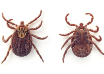 Bed Bugs vs Tick; Facts, Differences, Identification, and Prevention