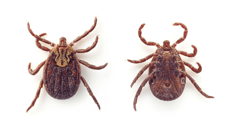 ticks that look like bed bugs