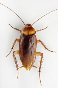 Brownbranded cockroach