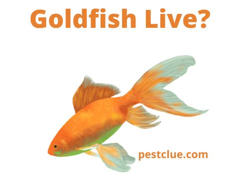 How Long Do Goldfish Live? The Lifespan of Goldfish