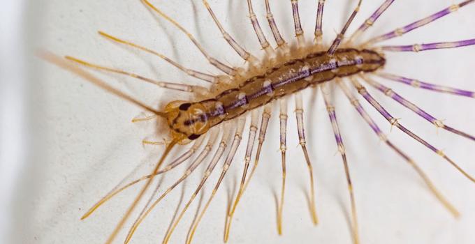 Centipede Infestation: How to Get Rid of Centipede Infestation