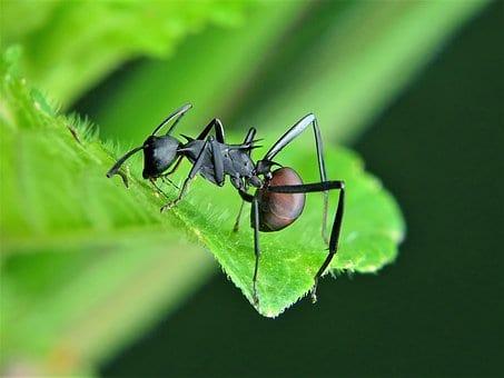Do Carpenter Ant Bite? The Behavior of Carpenter Ant