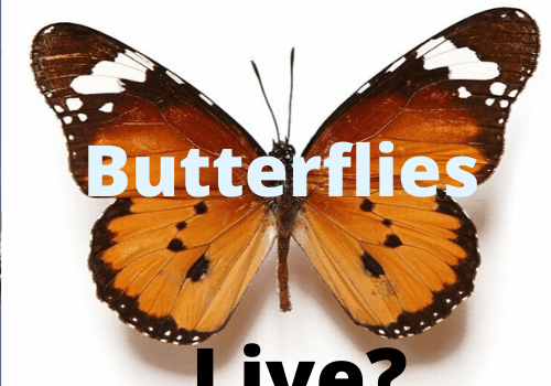 Where Does Butterflies Live? Discover Their Habitat
