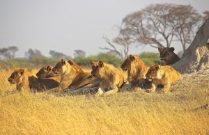 What is a group of lions called