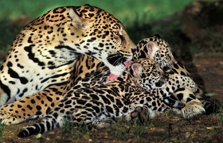 What is a group of jaguars called