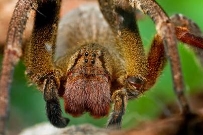 The most dangerous spider in the world