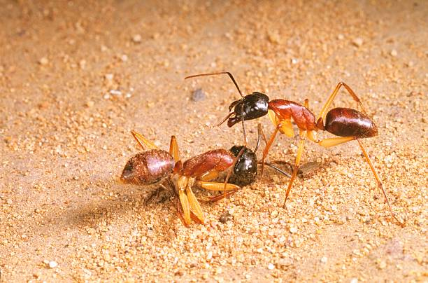 What attracts sugar ants