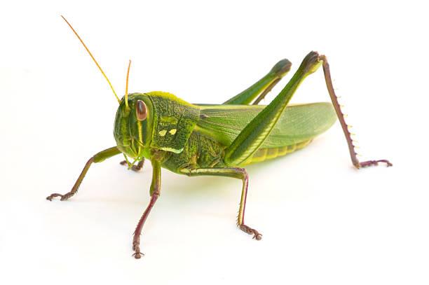 Grasshopper infestation