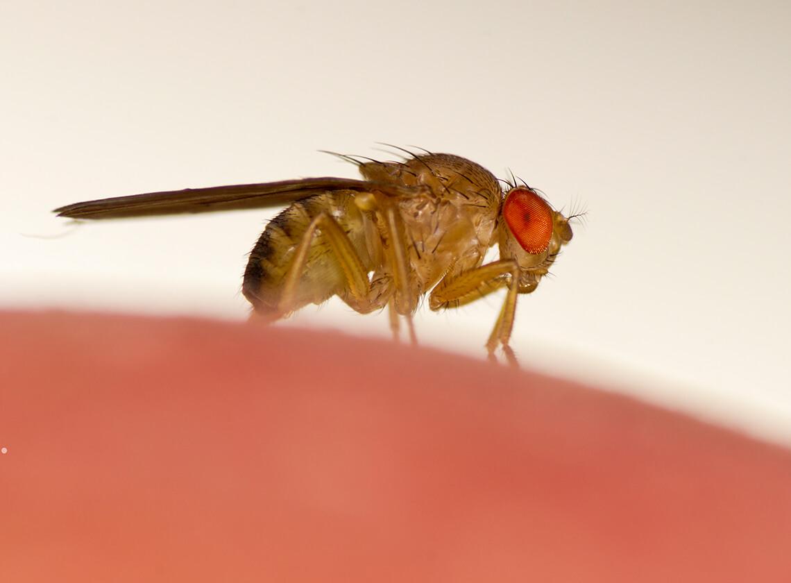 get rid of fruit flies raid bug