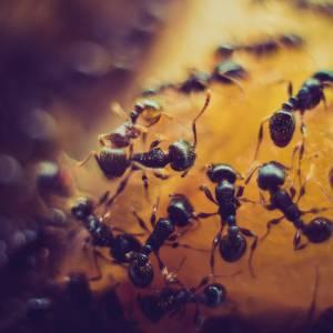 Ants' nests in cavity walls in Birkenhead