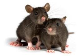 الفئران رأس الخيمة