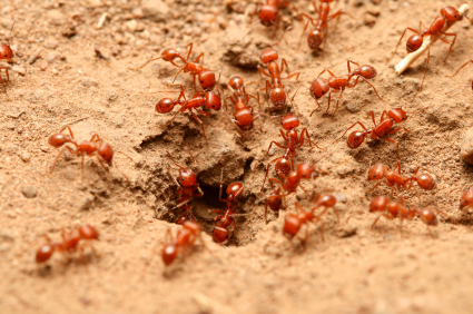 These Small Red And Black Ants Are Only 2 5 Mm In Overall Length Clearly Smaller Than Dorymyrmex Bicolor From Kingman Arizona