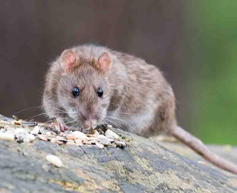 rat-pest-control-sydney
