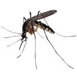 mosquito-pest