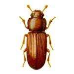 redflour_beetle