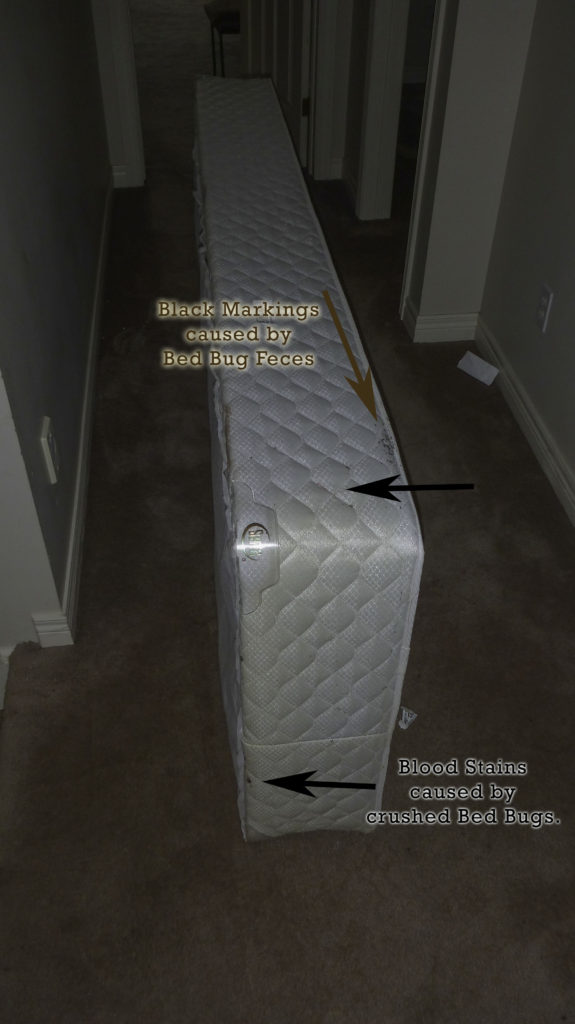 Bed Bugs Blood Stains And Black Markings Of The Feces