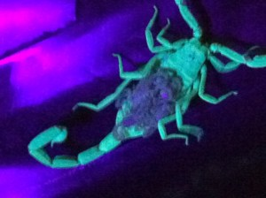 Baby Scorpions Under A Black Light Pest Control And Bug