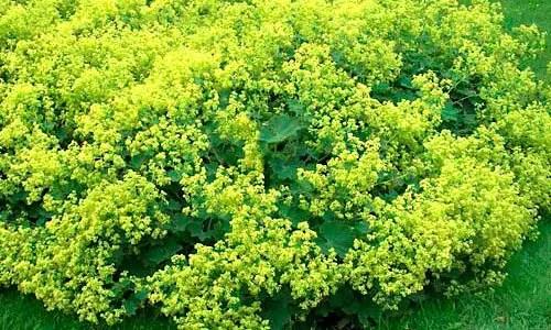 Lady's Mantle deer repellent plant