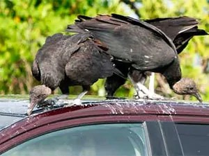 Turkey vultures on car
