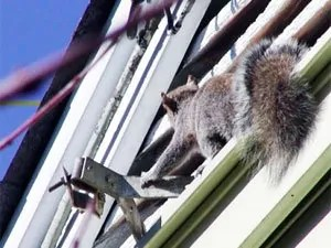How To Get Rid Of Squirrels In The Attic Top Ways To