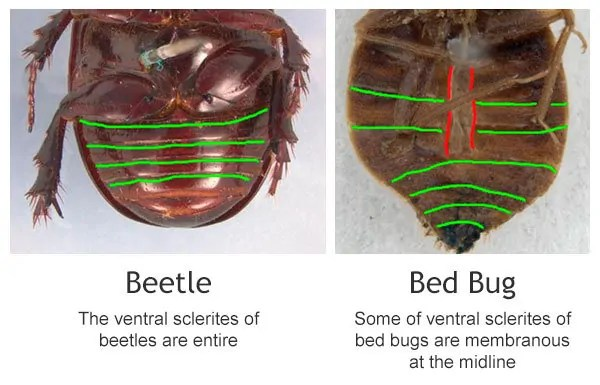 How To Get Bed Bugs Out Of Carpet Remove Them Effectively