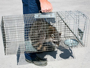Bring the raccoon at least 10 miles away