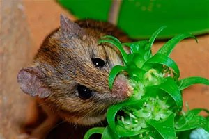 Mouse and broccoli