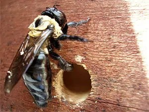 Carpenter bees entrance hole to the nest