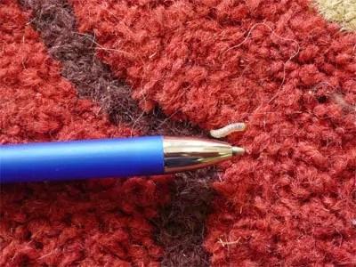 Carpet bug larvae