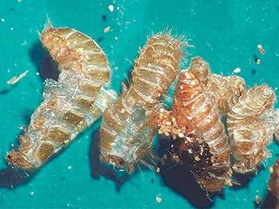 Carpet bugs larvaes