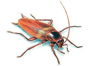 Cockroaches terminology