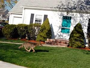 Coyote in your backyard