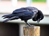 Crow control