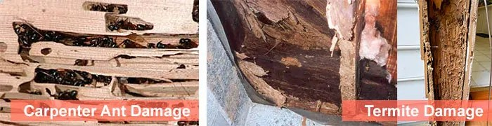 Carpenter ant vs Termite damage