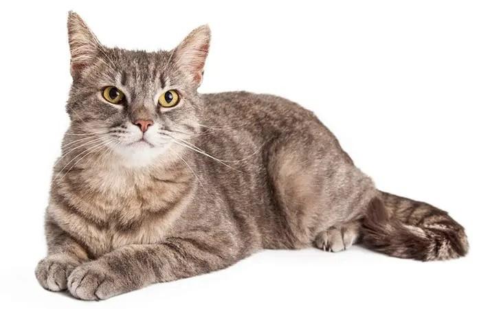 Domestic Shorthair breed