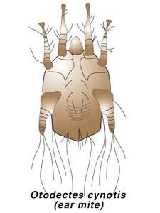 Otodectes ear mite