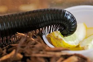Millipede eating lemon