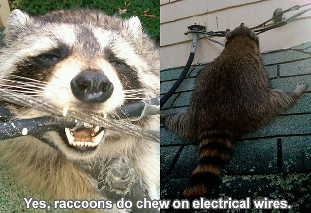 Raccoons do chew on electrical wires