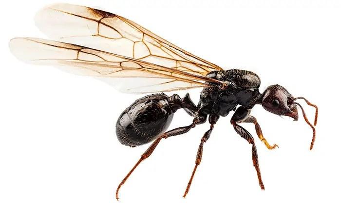 Flying Ant image