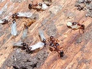 Flying ants on wood