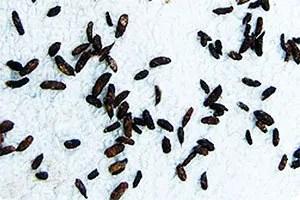 Field mice droppings
