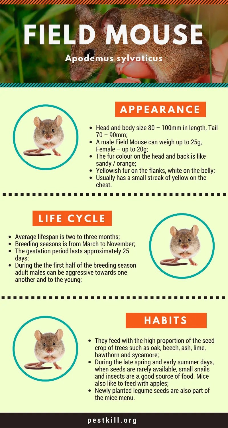 Field mouse infographic