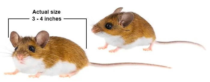 Field mice actual size