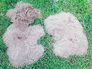 Gophers damage