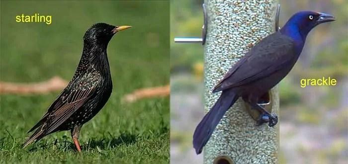 Gackle VS Starling