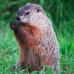 Groundhog look like